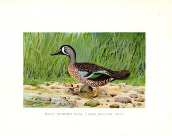 1899 Antique Bird Print Blue Winged Teal Duck JL Ridgway Lithograph Ornithology Vintage Bird Print