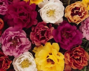 50+Moss Rose Tequila Mix Portulaca / Succulant Ground cover / Annual Flower Seeds