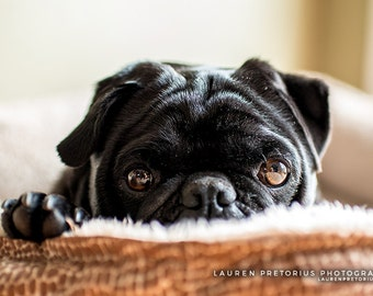 Cozy Pug, Animal Photography, Archival Giclee Print, Pet Dog Photo - Multiple Sizes Available