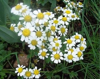 Chamomile- German- 100 Seeds