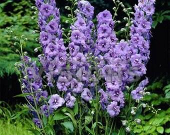 Delphinium-Lilac Spire- 50 seeds