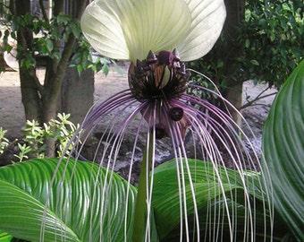 White Bat Flower Tacca Nivea * Seeds
