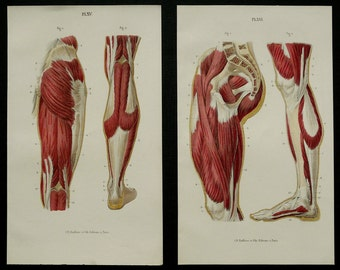 1890 Set of two antique prints of HUMAN ANATOMY: MUSCLES of the leg and glutes. 126 years old lithographs