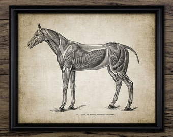 Vintage Horse Muscles Print - Horse Anatomy Illustration - Horse Anatomy Wall Art - Printable Art - Single Print #693 - INSTANT DOWNLOAD