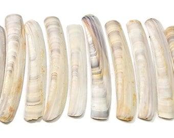 30 medium white razor clam shells,beach decor,beach craft supply,shell craft,long clam shells,jackknife clam shells,knife clams, sea shells