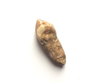 Cave bear tooth 30,000 ice age