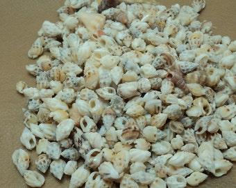 Tiny Nasa Seashells for Crafting. RS 100. *FREE SHIPPING*