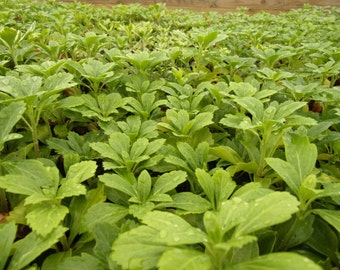 Pachysandra Terminalis - Wholesale Pricing - Lots of 25, 50 or 100 Plants