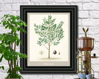 Cherry Laurel Botanical Print Vintage Cherry Laurel Illustration Kitchen Wall Art Poster  0437