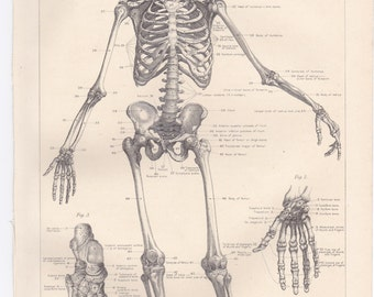 The Human Skeleton print taken from an 1890 Home Doctor Book.