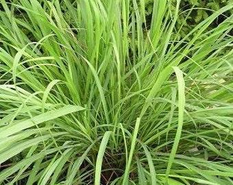 Lemon Grass Seeds, Herb Seeds