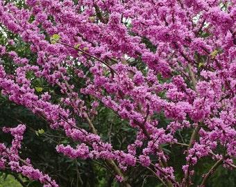 Redbud (Eastern)Tree Seeds