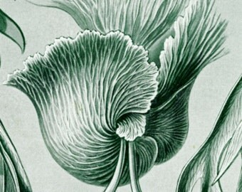 Ernst Haeckel, Ferns Drawing, Ernst Haeckel Drawing, Haeckel Drawing, Haeckel Ernst, Drawing Ferns, Scientific Illustration, Ferns Art, Art