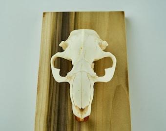 Beaver Skull, Desk Accessory, Office Decor, Home Decor, Preserved Skull, Curiosity, Handmade, Wall Decor, Gift, Taxidermy, Osteology, Bone