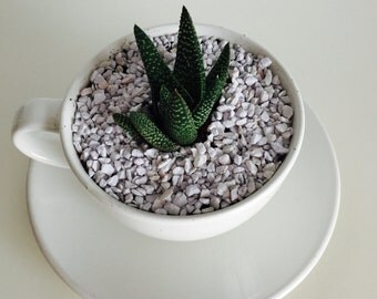 White TeaCup Terrarium