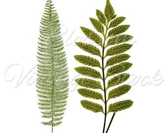 Leaves Botanical Print, Vintage Wall decor, Green Fern, PNG Leaves Digital Antique Illustration  INSTANT DOWNLOAD - 1390