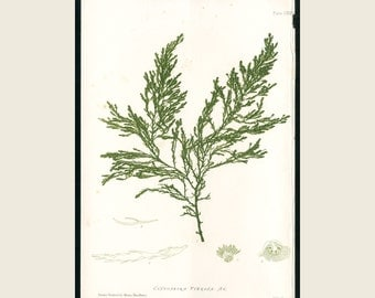 1859 Henry Bradbury Original Antique Nature Printed British Seaweed Exotic Cystosiera Seaweed - Exquisite Seaweed Print FREE SHIPPING