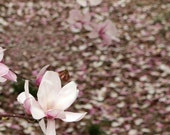 Pale Pink Flower Photograph Spring Petals Flowering Tree Botanical Photography 8x10 Fine Art Photo Magnolia Tree Nature Contemporary Decor
