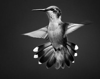 Black and White Print, Black and White Photography, Hummingbird Photograph, Hummingbird Print, Bird Wall Art, Black and White Home Decor