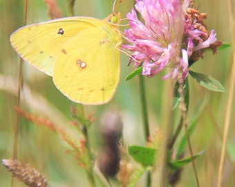 Yellow Butterfly Print, Fine Art, Nature Photography, Flowers