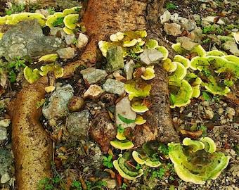 Jungle Chips. Mushrooms in the Yucatan Peninsula, Mexico.