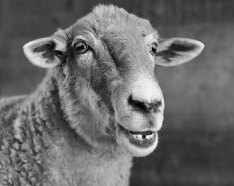 Photograph 8x12 smiling sheep black and white fine art archival print