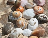 California Swirly Sea Shells - Found Sea Shell Supply