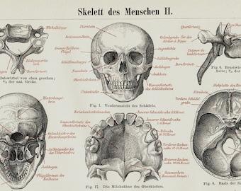 1889 Antique VICTORIAN ANATOMY lithograph,  skeleton, bones, skull, original antique 127 years old amazing print
