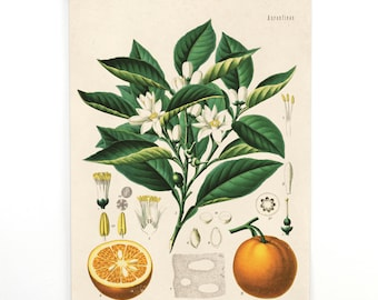 Pull Down Chart - Botanical Orange Reproduction Print. Educational Chart Diagram Poster from Kohler's Citrus Tree Botanical Poster - 238CVL