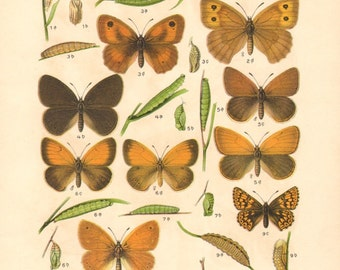 1913 Butterflies, Large Heath, False Ringlet, Chestnut Heath, Pearly Heath, Small Heath, Duke of Burgundy Original Antique Lithograph