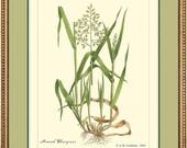 ANNUAL BLUEGRASS - Vintage Botanical print reproduction - 455