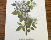 Vintage Color Lithograph Print- Highbush Blackberry- Wildflower Series