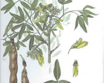 Vintage botanical print - Carob tree - Anagyris foetida - 7