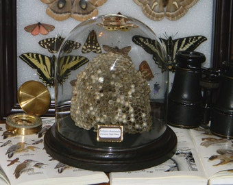 Naturalist's Large Display Wasp Nest With Bell Jar - European Paper Wasp - Species Polistes Dominula