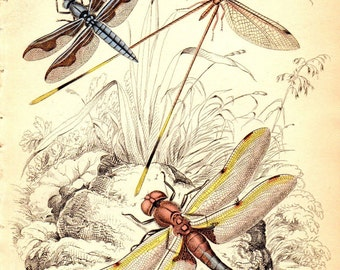1833  Antique Insect Print Dragonfly Dragonflies Jardine Insect Decor Matted 8 X 10