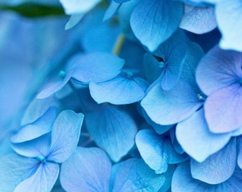 Blue Hydrangea Photo Print: Flower photography, spring, summer, botanical, soft blue, aqua, lavender, green, water blue