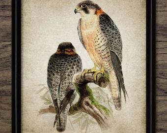 Falcon Print - Falcon Bird Of Prey Illustration - Falconry Bird Decor - Digital Art - Printable Art - Single Print #160 - INSTANT DOWNLOAD