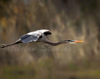 Great Blue Heron In-Flight