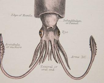 1881 Squid Antique Print