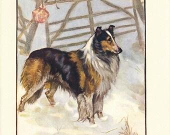 1906 Collie Dog Antique Print