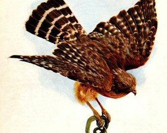 Antique Hawk Print, Antique Bird Print, Antique Bird ClipArt, Vintage Bird Print, Antique Bird Graphic, Antique Bird Image, Old Hawk Print