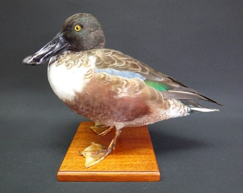 TAXIDERMY Shoveler Drake (log no: 9543) Mounted On Hard Wood Mount. Height 24cm. Waterfowl. Duck.
