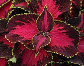 Coleus Seeds Sun Chocolate Covered Cherry 15 Pelleted Seeds