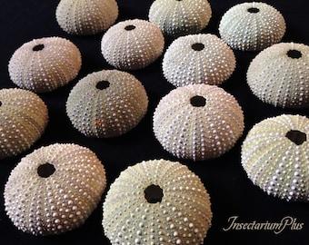 13 light green SEA URCHIN shells - for craftworks and home decor - nautical marine wedding decor supply - seashell collection