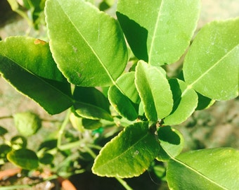 Organic Kaffir Lime Leaves / Aromatics / Thai Cuisine / Gourmet Cooking