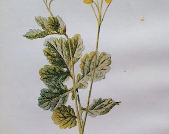 1878 CELANDINE Original Antique Botanical Lithograph - Botany - Flower - Wall Decor  - Home Decor - Matted & Ready to Frame