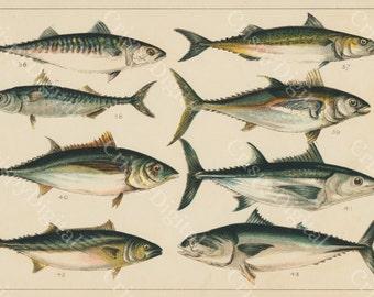 Fish Illustration, Fish Wall Art, Fish Print, Printable Wall Art, Vintage Mackerel, Bonito and Tuna Digital Download, Fish Printable Art