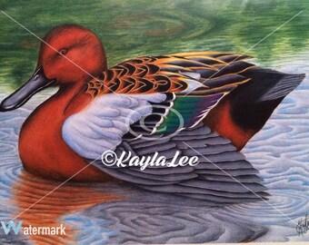 Cinnamon Teal Duck Art Print