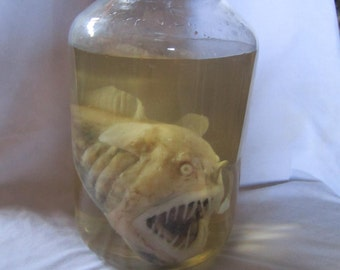 taxidermy cabinet of curiosity monkfish taxidermy fish curiosity odditties