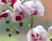 Phalaenopsis Moth Orchid Plants in Black Pots. Set of 2.  Creamy Lavender.